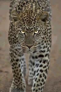 2-giaguaro
