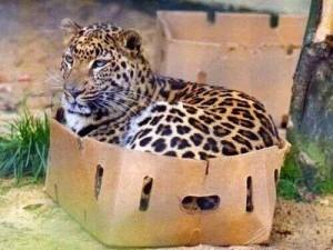 3-giaguaro-in-scatola